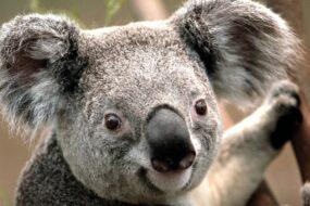 AU01 Post Card Koala