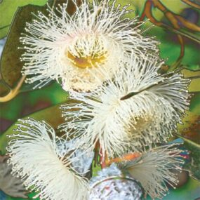 CUSHION-Blue-Gum-Eucalyptus
