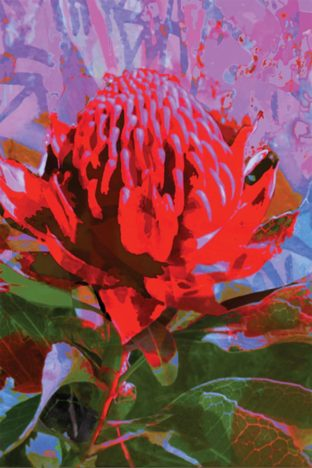 GC11 Greeting Card Waratah