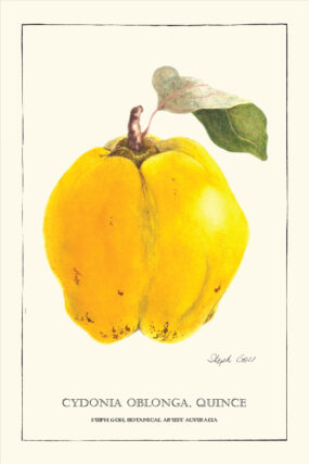 TEA TOWEL - QUINCE